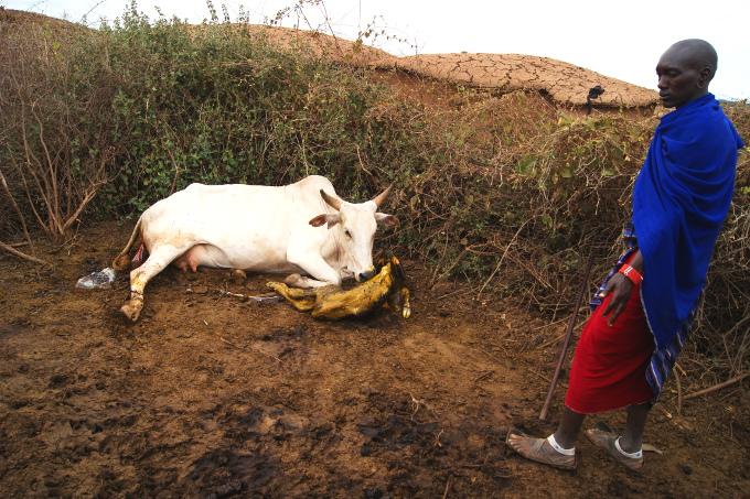 Przecież widać, że krowa jest sztuczna...